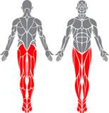 Grupe de mușchi antrenate